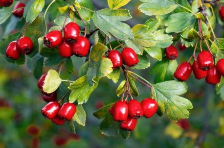 Ovocné dřeviny do zahrady: Hloh peřenoklaný