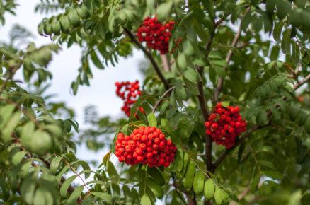 Ovocné dřeviny do zahrady: Jeřáb obecný