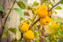 méně tradičné ovocné dřeviny do zahrady: kdouloň