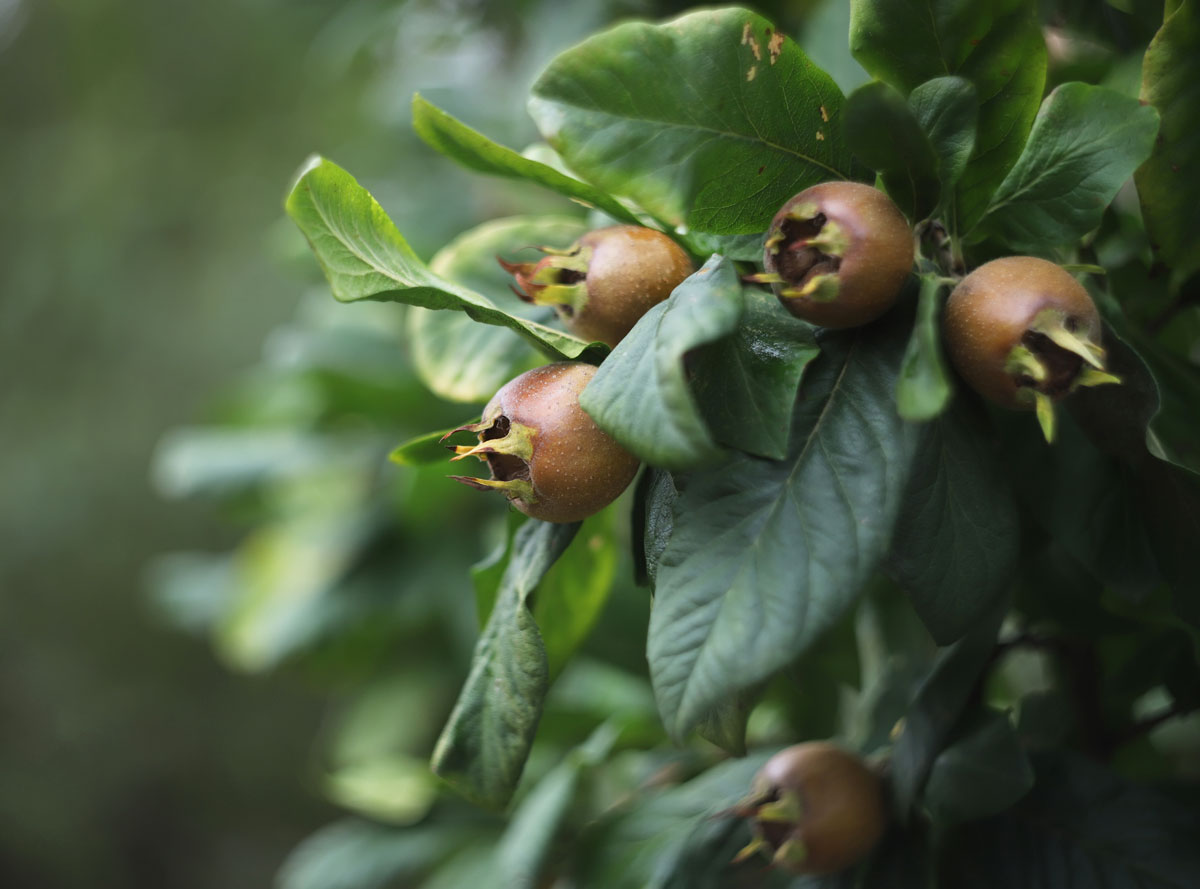 Ovocné dřeviny do zahrady: Mišpule obecná