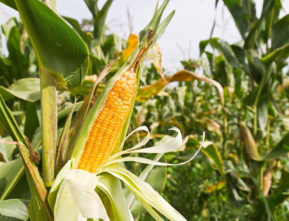 jak pěstovat kukuřici