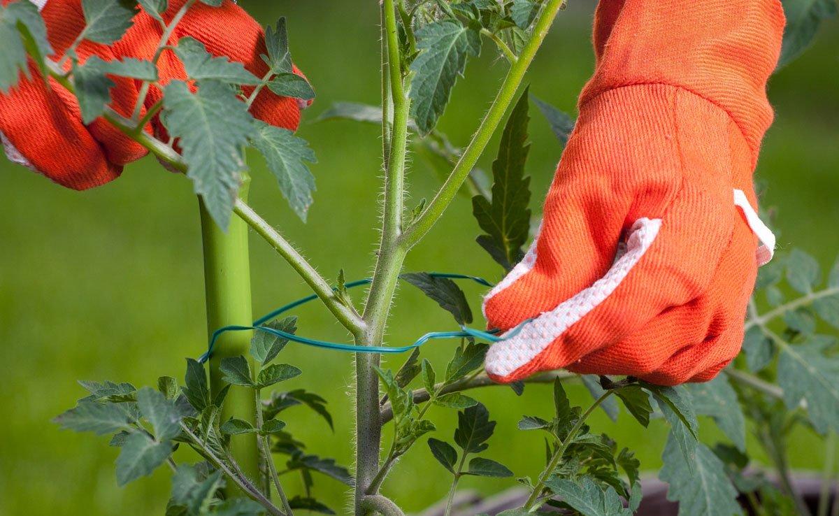 Pěstování tyčkových rajčat, uvazování k opoře