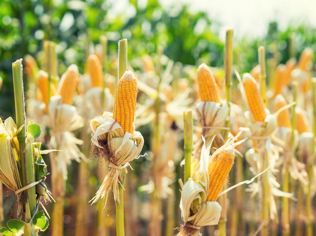 Jak se starat o kukuřici, sběr