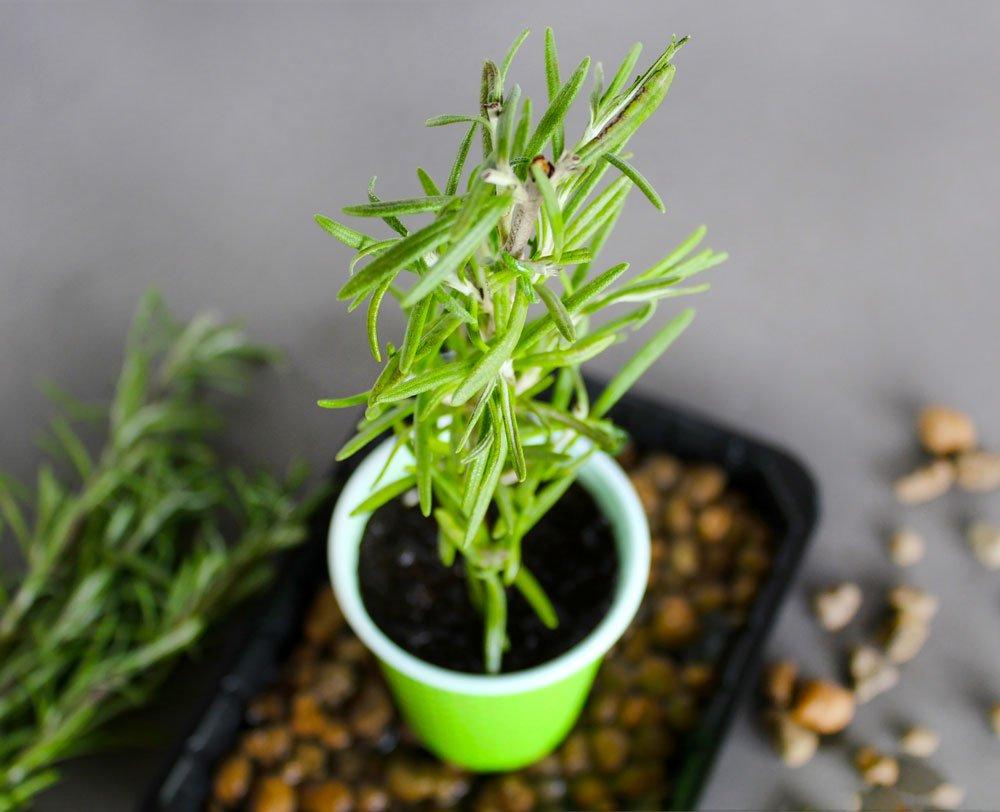 jak si rozmnožit bylinky