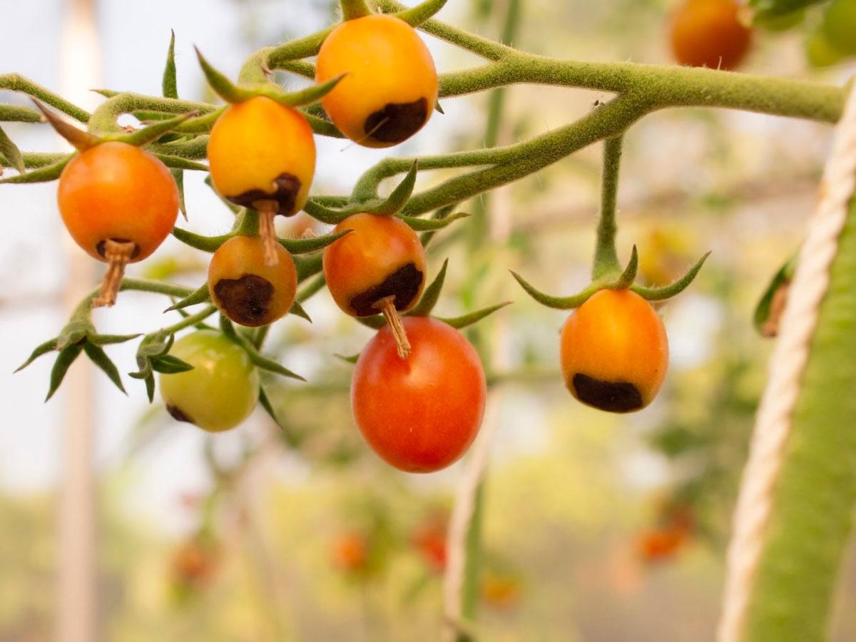 choroby rajčat: černání špiček plodů