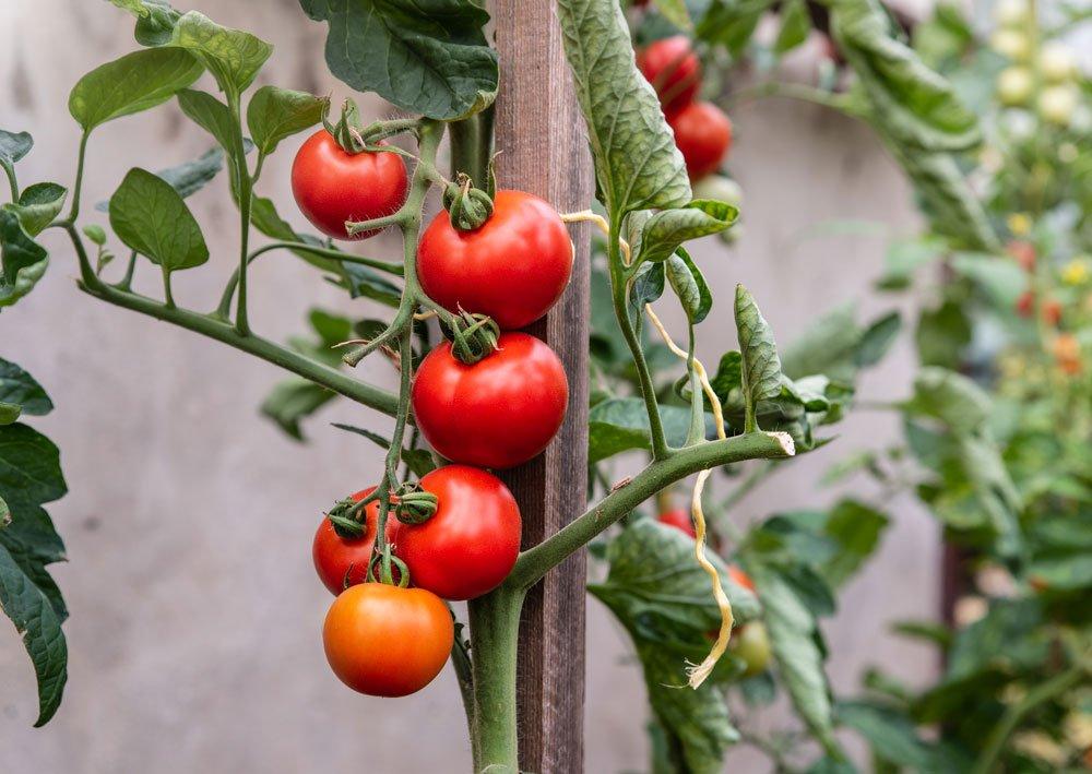 Pěstování tyčkových rajčat