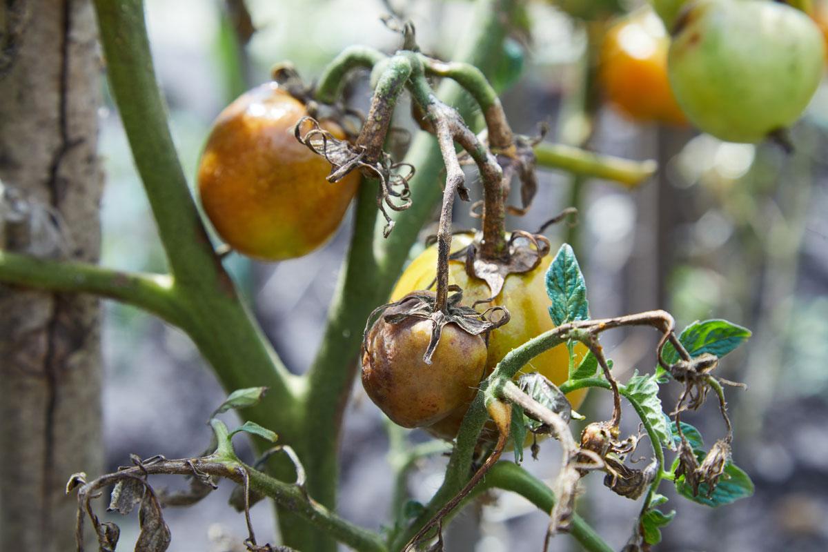 choroby rajčat: odumírání rostliny