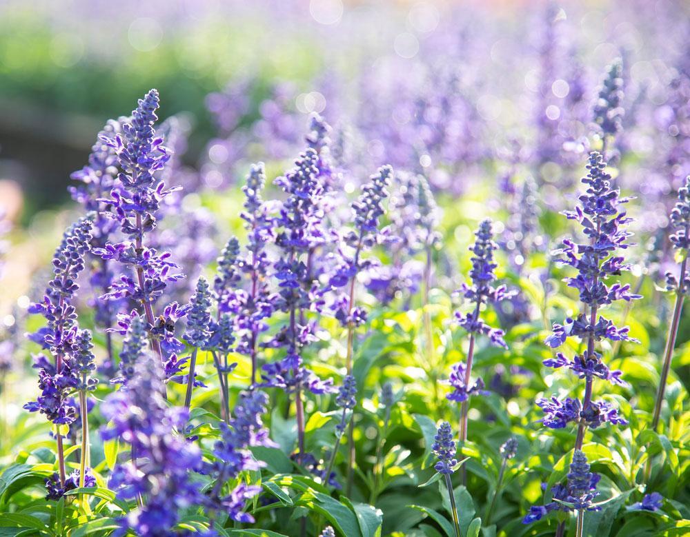 pěstujeme trvalkové šalvěje: rozkvetlá šalvěj v záhoně