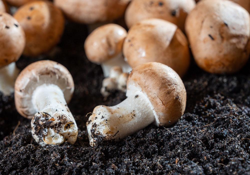 žampiónová sadba houb ve sklepě