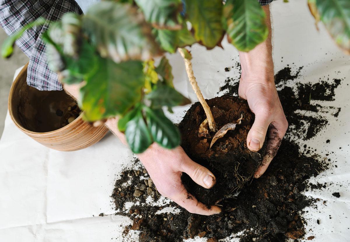 Jak se zbavit bílého povlaku na hlíně, přesazování rostliny