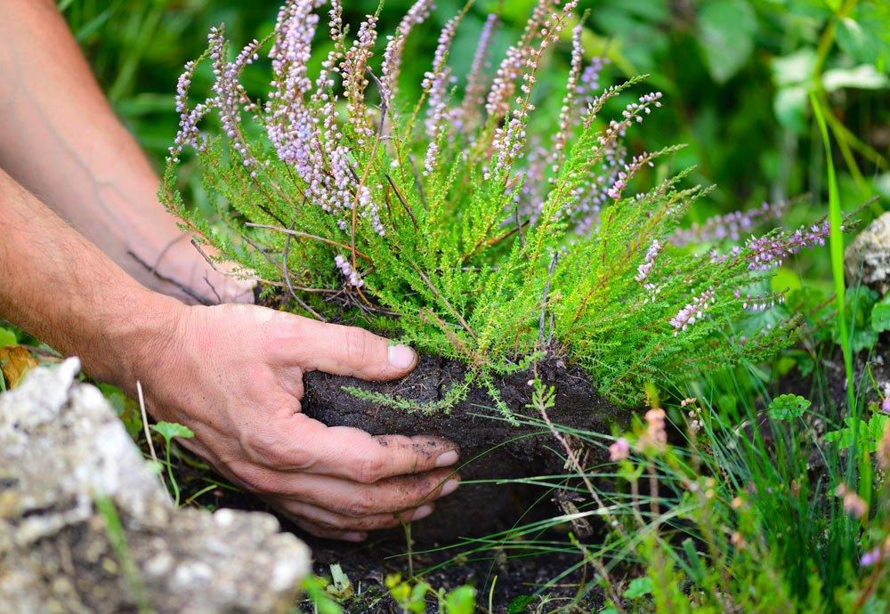výsadba vřesu do zahrady