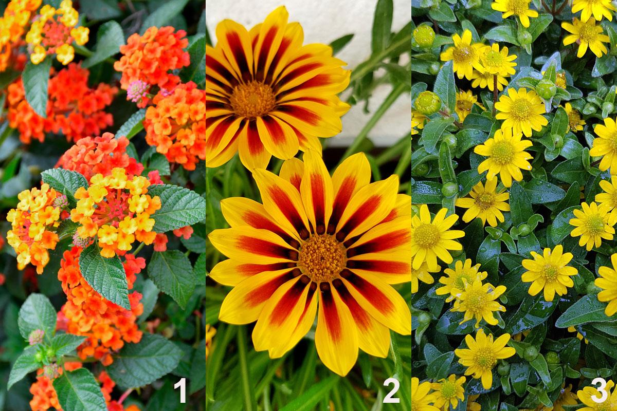 Rostliny do kombinované nádobové výsadby vhodné na plné slunce: libora (1), gazánie (2), sanvitalie (3)