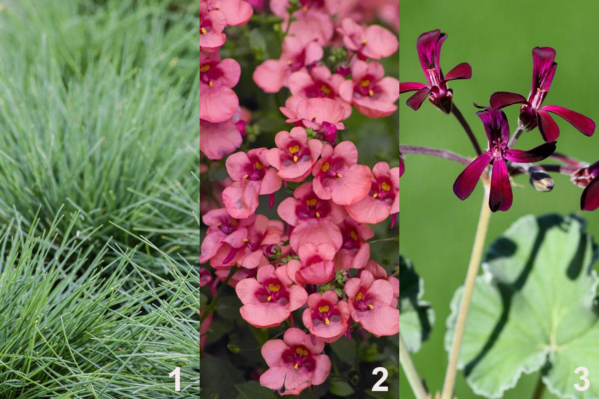 Rostliny do rustikální kombinované výsadby do nádoby: kostřava (1), hledíkovka (2), muškát (3)