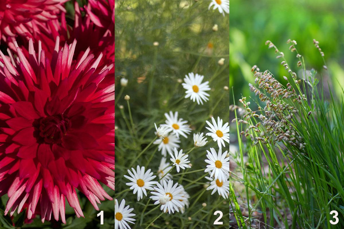 Rostliny do kombinované nádobové výsadby pro pozdní léto a začátek podzimu: jiřina (1), kopretina (2), třeslice (3)
