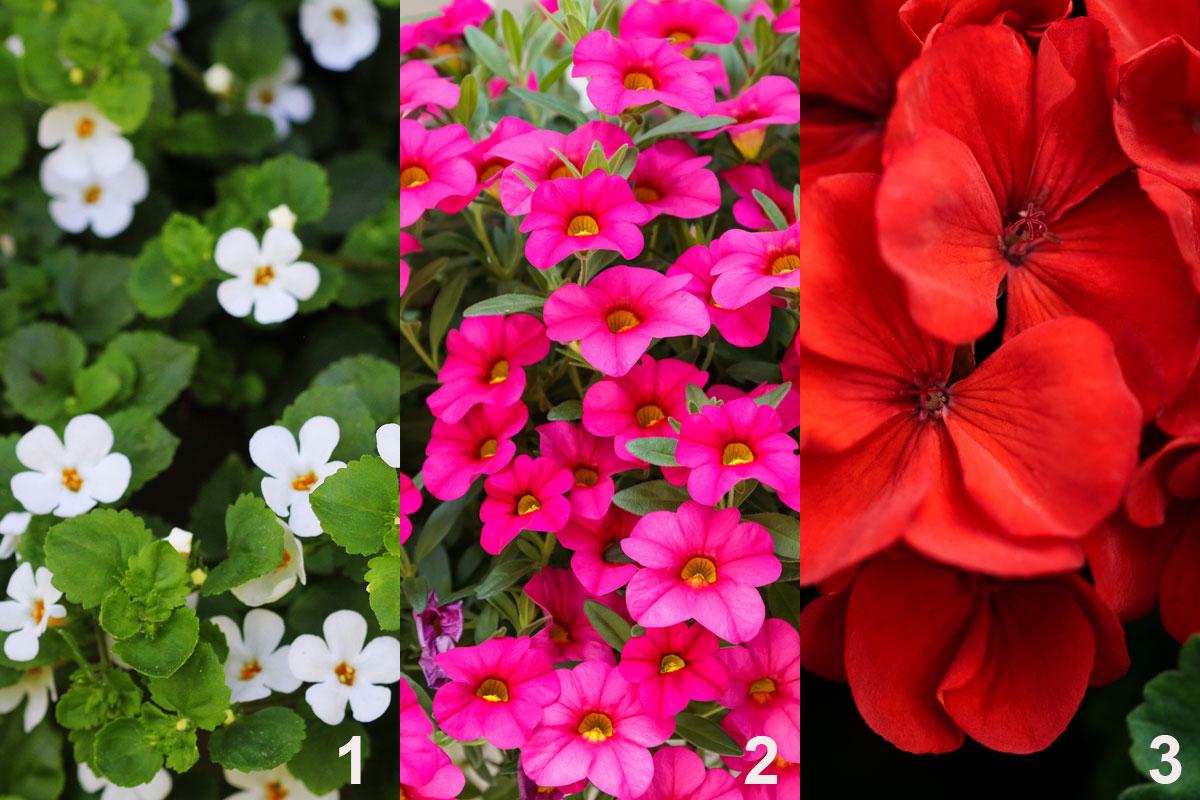 Rostliny do kombinované nádobové výsadby ve přímořském stylu: bakopa (1), minipetúnie (2), muškát (3)