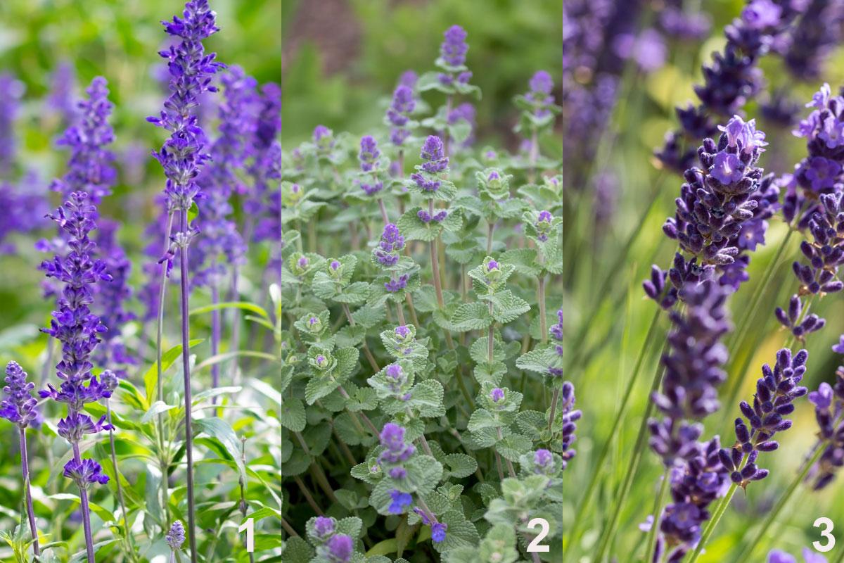Rostliny do kombinované nádobové výsadby užitečné i pro hmyz: šalvěj (1), šanta (2), levandule (3)