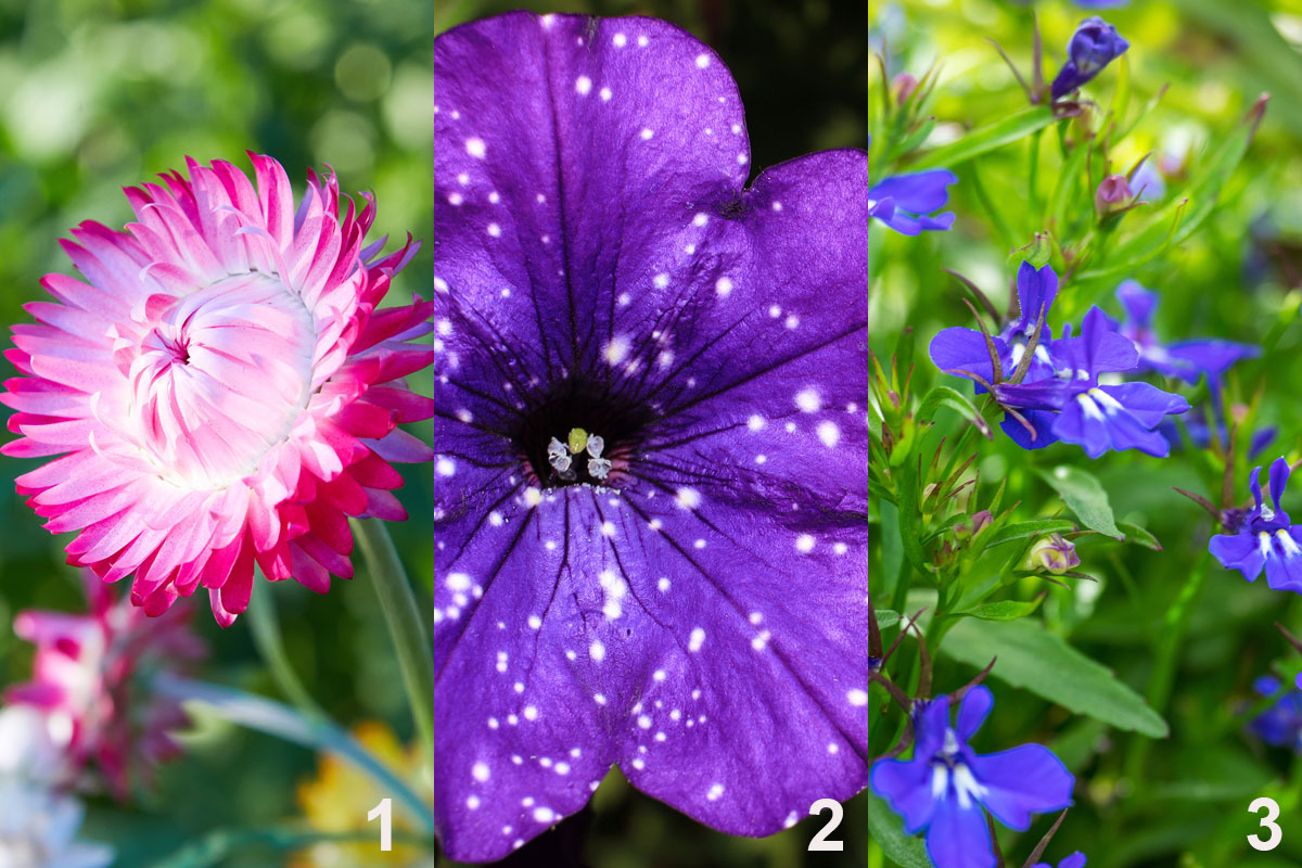 Rostliny do kombinované nádobové výsadby tón v tónu: smil (1), petúnie (2), lobelka (3)