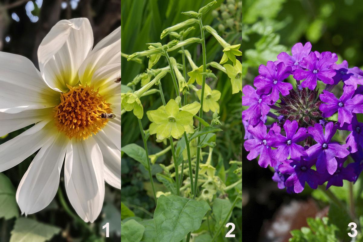 Rostliny do kombinované nádobové výsadby pro večerní atmosféru: jiřina (1), tabák (2), sporýš (3)