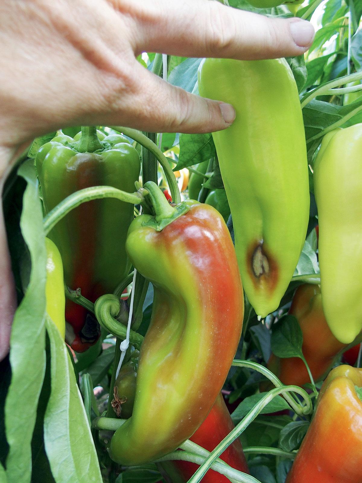 onemocnění paprik: hniloba plodů