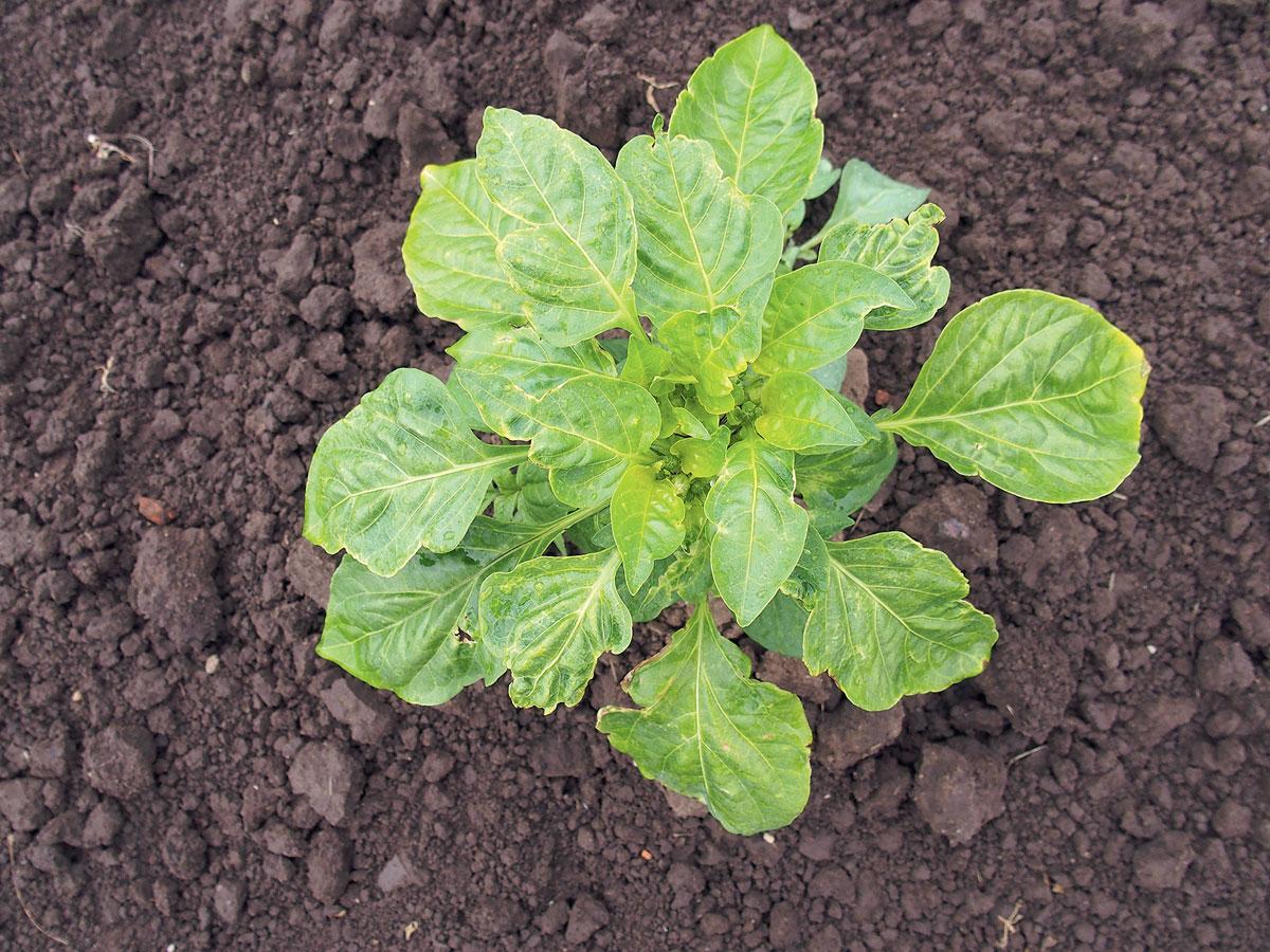 onemocnění paprik: změna tvaru listů a plodů