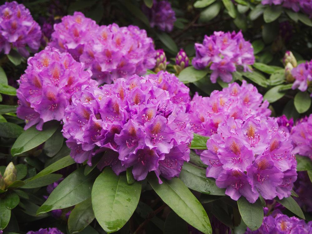 výsadba rododendronu