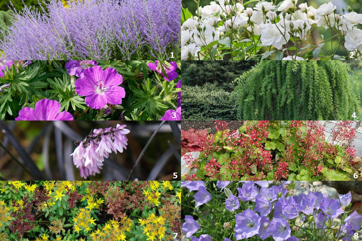 Rostliny do slunečné zahrady: perovskie, růže, kakost, modřín, sedoulek, dlužicha, rozchodník, zvonek