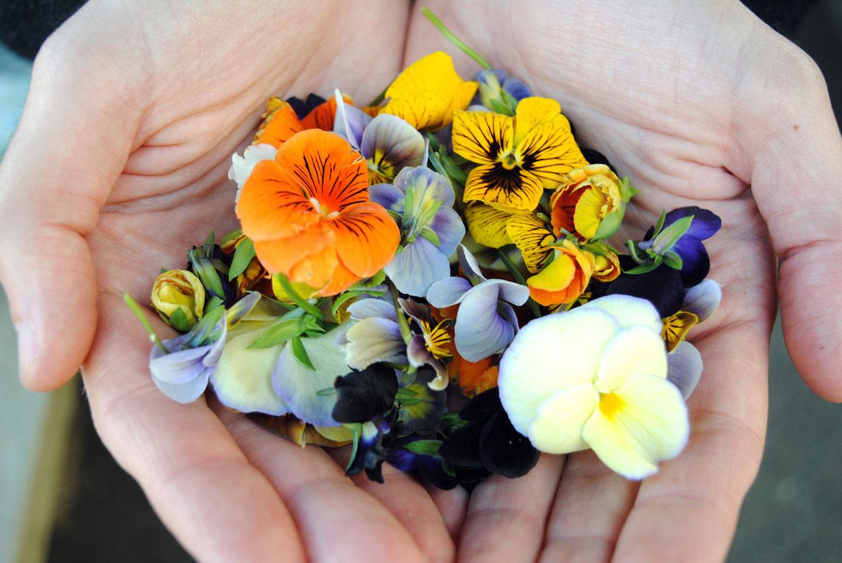 Jedlé květy fialek v dlaních