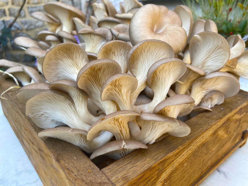 houby vypěstované v kávové sedlině