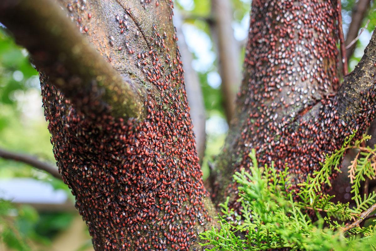 populace blánatky lipové na stromě