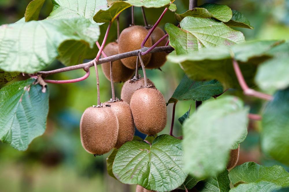zahradní kiwi s plody