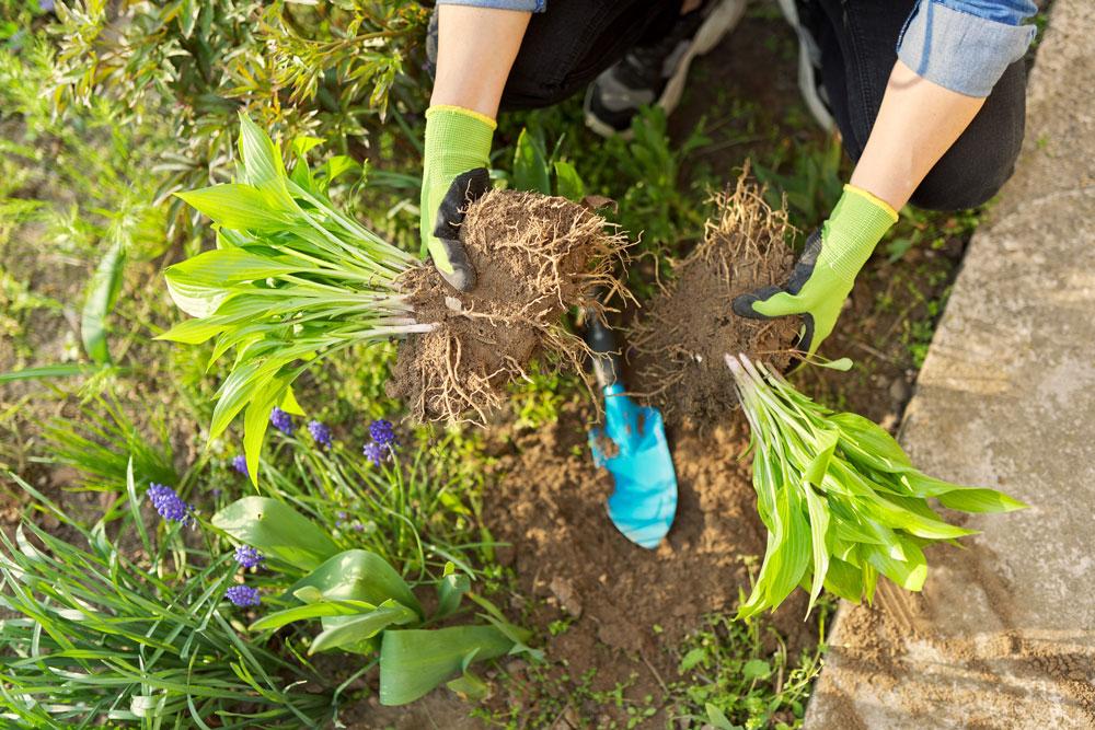 zahradnice drží dvě oddělené části hosty, které chce rozmnožit