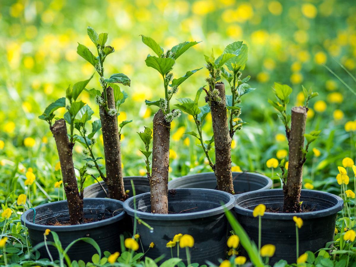 Mladé rostliny moruše