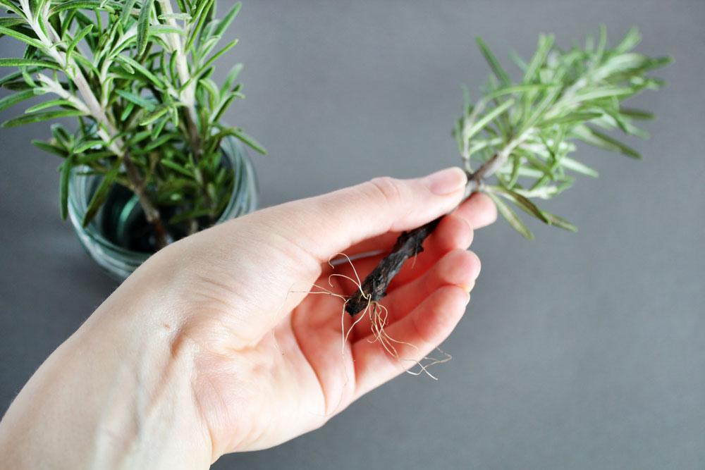 ruka držící větvičku rozmarýnu s kořínkem