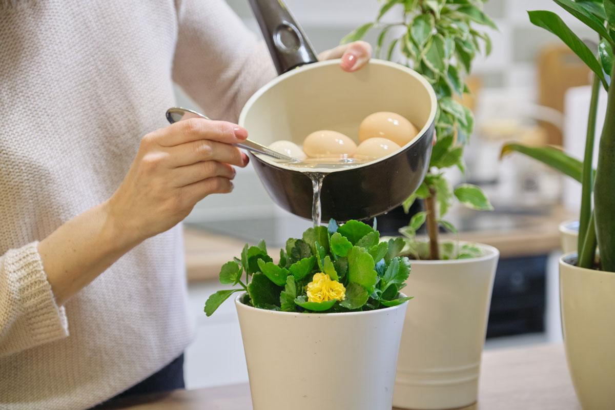 žena zalévá vodou z vajec pokojovou rostlinu