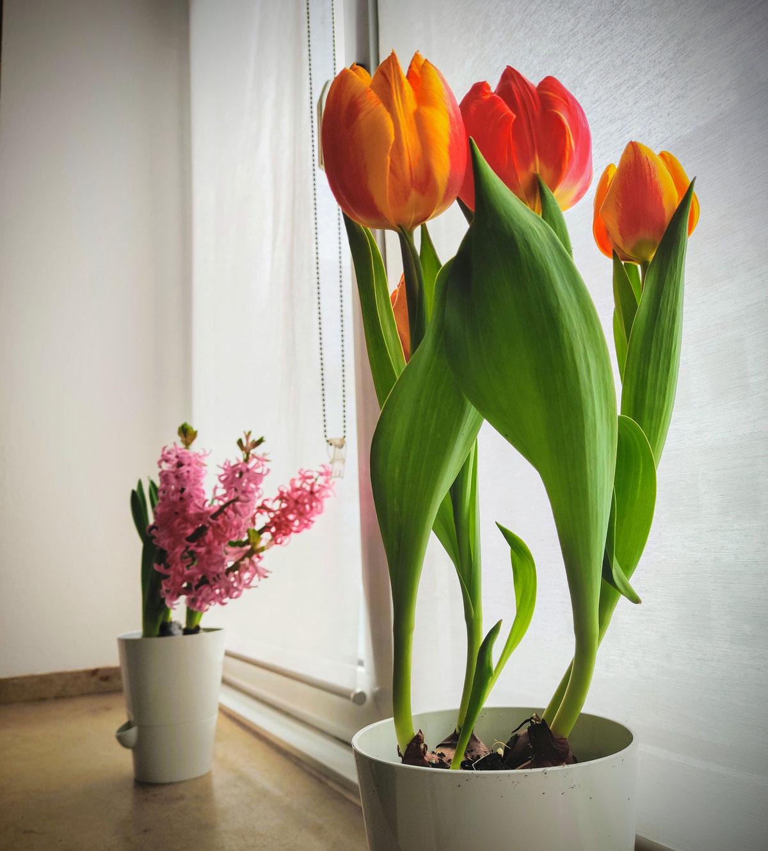Tulipány a hyacint na okně