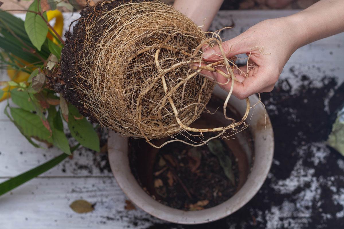 Rostlina s přerostlými kořeny