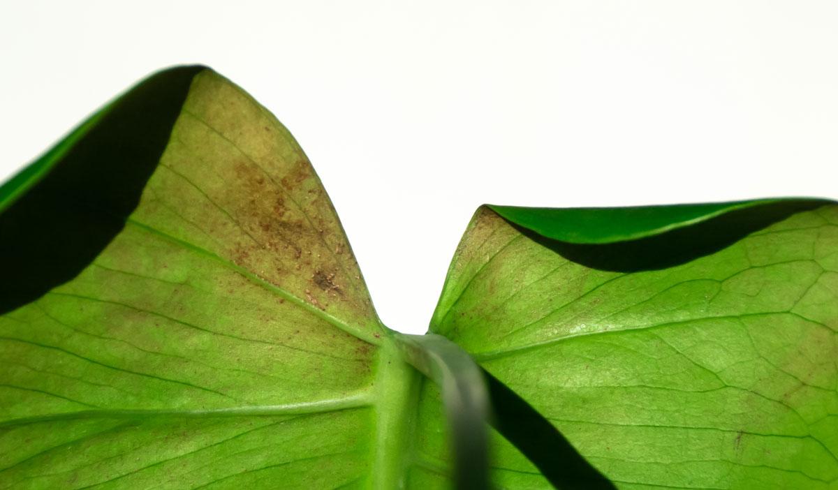 List pokojové rostliny napadený třásněnkami