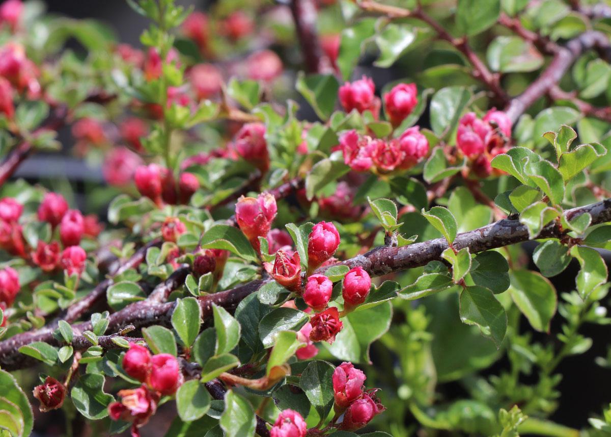 Růžové květy skalníku