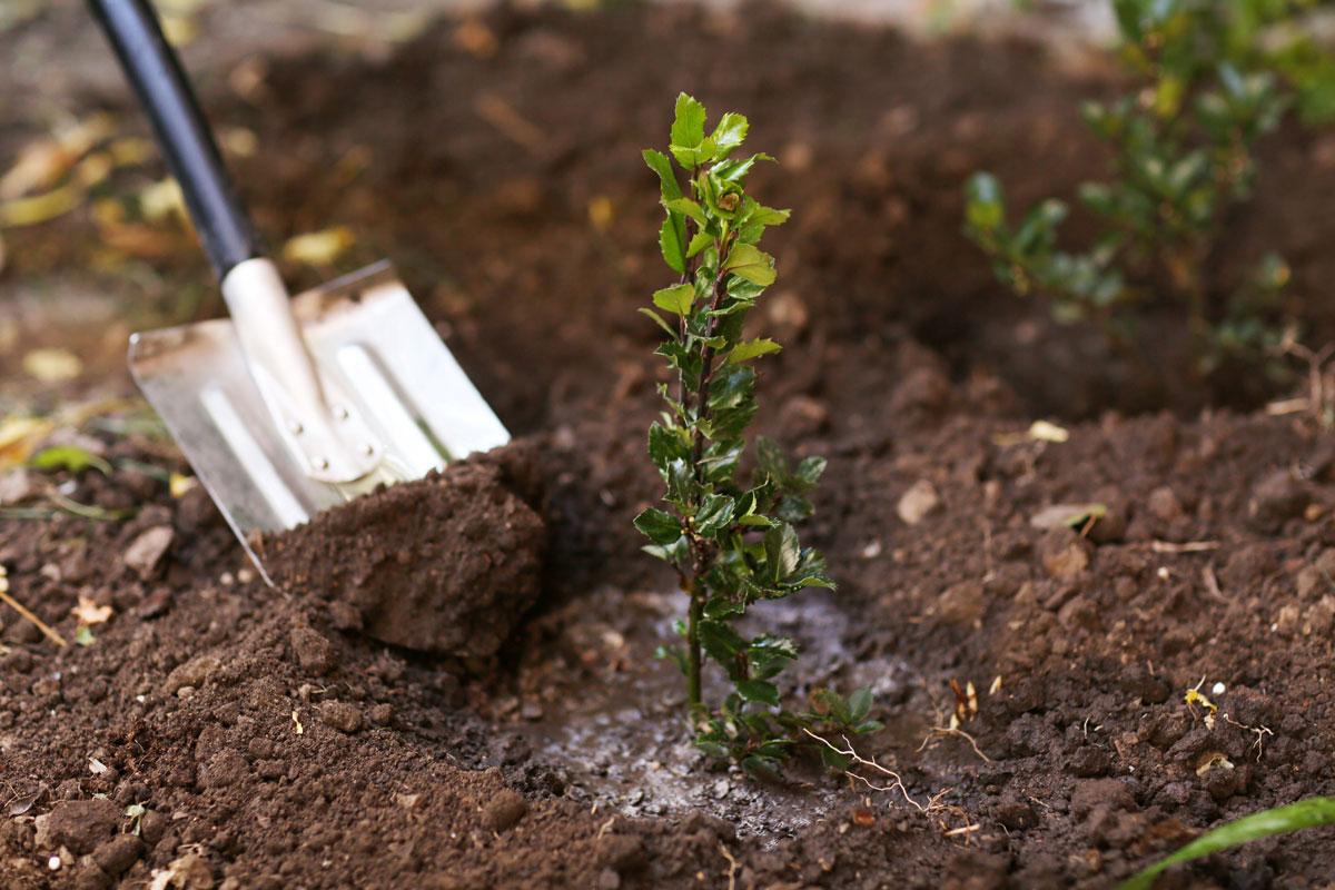 Výsadba mladé dřeviny