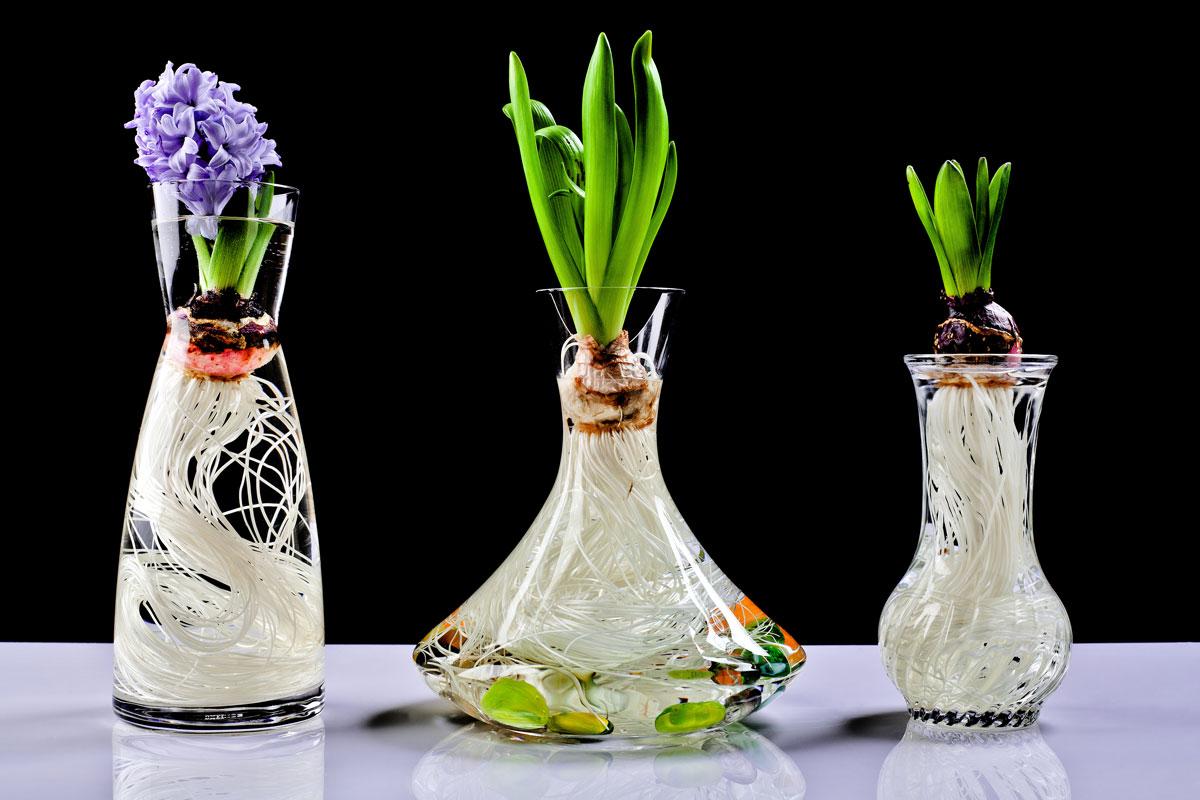 Hyacinty ve skle s vodou